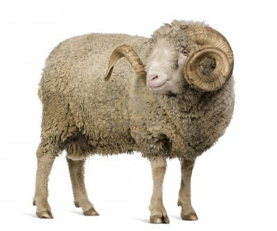 7121202-arles-merino-sheep-ram-5-years-old-standing-in-front-of-white-background.jpg